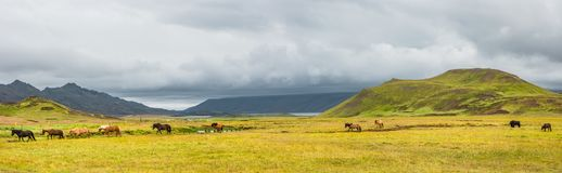 Panoramic view of valley and herd of islandic horses on Iceland, summer. Time, cloudy day stock photography
