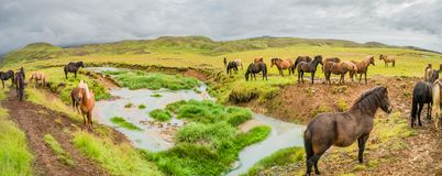Panoramic view of valley and herd of islandic horses on Iceland, summer. Time, cloudy day stock images
