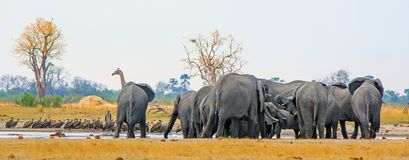 Panoramic view of a busy waterhole with Giraffe, Elephants and alots of vultures, Makololo Waterhole, Hwange National Park stock photos