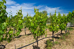 Panoramic view of a vineyard Royalty Free Stock Images