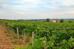 Panoramic view of a vineyard Royalty Free Stock Photos