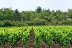 Panoramic view of a vineyard Stock Photos