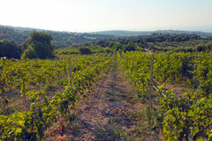 Panoramic view of a vineyard in Crete, Greece. Royalty Free Stock Photography