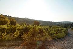 Panoramic view of a vineyard in Crete, Greece. Stock Photography