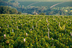 Panoramic view of the vineyards fields. Beautiful panoramic view of the vineyards fields royalty free stock photo