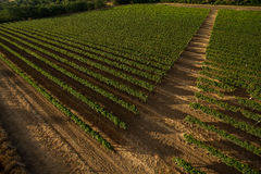 Panoramic view of the vineyards fields Stock Images