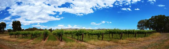 Panoramic view of vineyards rows with blue sky. In summer time stock photo