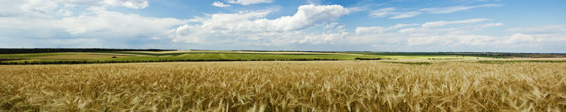 Panoramic view of a wheat field Stock Photo