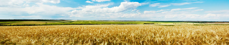 Panoramic view of a wheat field Stock Photos