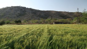 Panoramic view of wheat field, with local workers standing aside. stock video