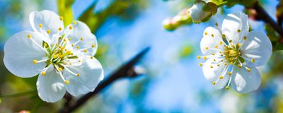 Panoramic view of white blooming cherry blossoms macro stock images