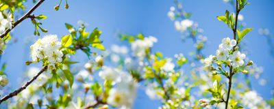 Panoramic view of white blossoming cherry flowers against the sky royalty free stock photo
