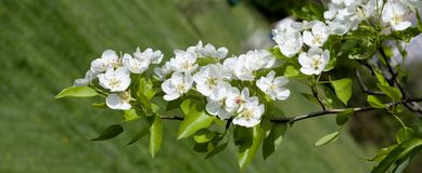 Panoramic view of white flowers on a background of greenery. Spring white flowers of an apple-tree in a park close-up. royalty free stock photos