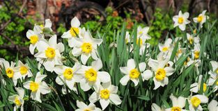 Panoramic view on White spring narcissus flowers. Narcissus flower also known as daffodil, daffadowndilly, narcissus. And jonquil royalty free stock photos