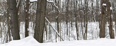 Panoramic view of winter forest. Stock Photos