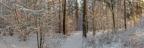 Panoramic view of winter pine forest with a tree in frost. The mysterious atmosphere of snowfall.  royalty free stock photography