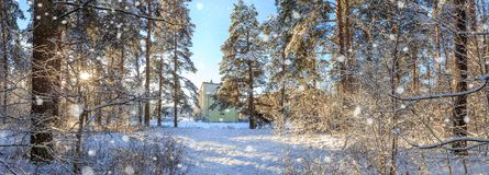 Panoramic view of winter pine forest with a tree in frost. The mysterious atmosphere of snowfall.  stock image