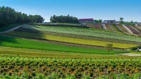 Panoramic view of yellow & orange flower meadows of Shikisai-no-oka Farm. In Biei, Hokkaido, Japan royalty free stock images