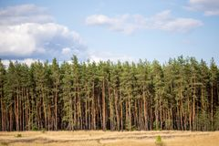 Panoramic view of yellow wild grass meadow, pine forest and blue cloudy sky on the background Stock Photo