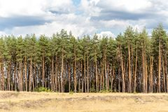 Panoramic view of yellow wild grass meadow, pine forest and blue cloudy sky on the background Royalty Free Stock Photos