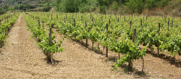 Panoramic vineyard. Little rows of vines in vineyard in sicily stock photography