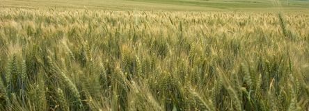 Panoramic Wheat Field. A panoramic view of a green wheat field Stock Images