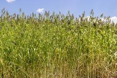 Panoramica anteriore delle piante del grano pronte a raccogliere con la luce di pomeriggio fotografia stock libera da diritti