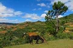 Panoramica dei cavalli che mangiano erba, a sud del Vietnam Immagini Stock