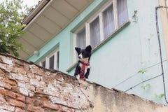 Panoramica del cane nero leale fotografie stock