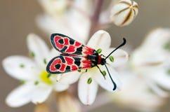 Panoramica del lepidottero della pimpinella di volo diurno - Zygaena Fausta Immagini Stock