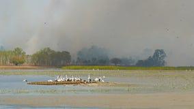 Panoramica di una vita del fuoco e dell'uccello del cespuglio al billabong dell'uccello stock footage