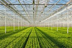 Panoramica simmetrica dei lotti di piccoli tagli del crisantemo dentro Immagine Stock Libera da Diritti