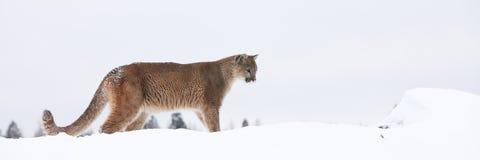 Panoramico del leone di montagna Fotografia Stock