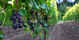 Panoramico dell'uva del pinot nero Fotografia Stock