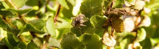 Panoramiczna fotografia mały skokowy pająk obraz royalty free