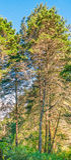 Panoramiczna sosna Fotografia Stock