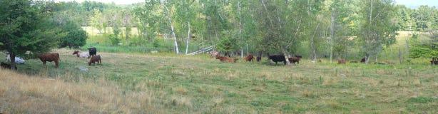 Panoramiczny krowy stada ziemi pole w kraj naturze Zdjęcia Royalty Free