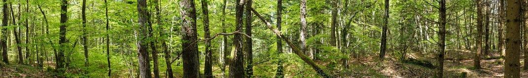 Panoramiczny strzał w lesie obrazy stock