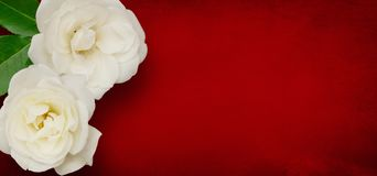 Panoramiczny szablon dla projekta z róża kwiatami zdjęcie royalty free