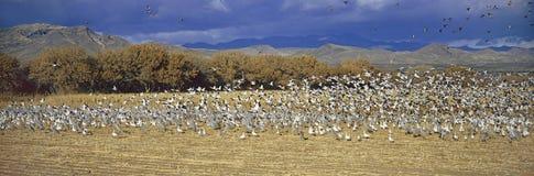 Panoramiczny tysiące migrować śnieżne gąski i Sandhill żurawie bierze lot nad Bosque Del Apache Obywatel przyrodą Ponowną zdjęcia royalty free