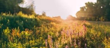 Panoramiczny widok Bloomy halizna Dzikich kwiatów Lupine Na lecie Obrazy Stock