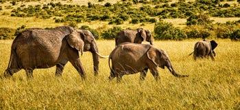Panoramiczny widok grupa cztery afrykańskiego słonia chodzi na sawannie zdjęcia stock