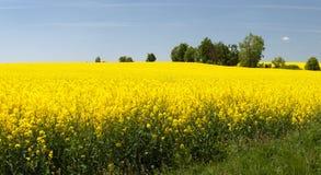 Panoramiczny widok kwiecenia pole rapeseed obrazy royalty free