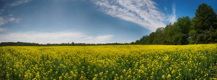 Panoramiczny widok kwitnący żółty rapeseed pole w Collingwood, Zdjęcie Stock