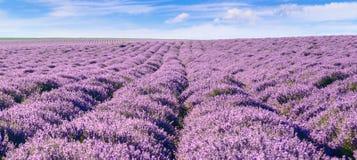 Panoramiczny widok kwitnący lawendowy feeld zdjęcia stock