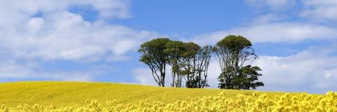 Panoramiczny widok mała kępa drzewa w polu jaskrawi żółci kwiaty Rapeseed Brassica napus obraz royalty free