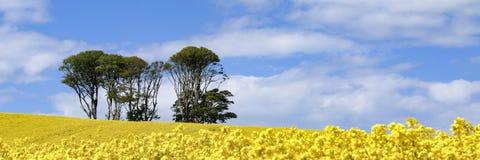 Panoramiczny widok mała kępa drzewa w polu jaskrawi żółci kwiaty Rapeseed Brassica napus zdjęcia stock