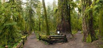 Panoramiczny widok starego przyrosta las w Katedralnym gaju parku, Vancouver wyspa zdjęcia stock