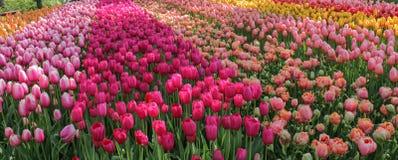 Panoramiczny widok wielokrotność barwiący tulipanu ogród zdjęcie stock
