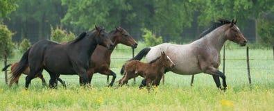 Panoramique du troupeau de cheval fonctionnant dans le domaine vert photos stock